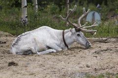 Белый северный олень Стоковое Изображение