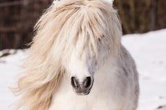 Белый сексуальный пони стоковое изображение rf
