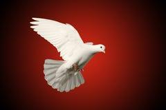 Белый символ летания голубя влюбленности на красной и черной предпосылке Стоковое фото RF