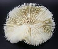 Белый скелет коралла мозга Стоковые Фотографии RF