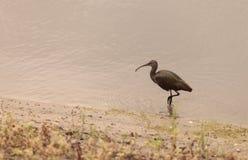 Белый смотреть на ibis, chihi Plegadis Стоковое Изображение RF