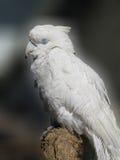 Белый спать какаду Стоковые Фотографии RF