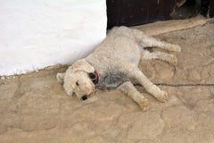 Белый спать II собаки Стоковое Изображение RF