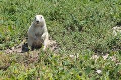 Белый суслик в окружающей среде Стоковые Фото