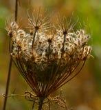 Белый сухой полевой цветок Стоковая Фотография RF