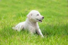 Белый счастливый щенок Стоковое Изображение