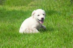 Белый счастливый щенок Стоковые Фотографии RF
