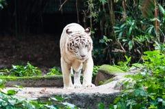 Белый тигр Бенгалии Стоковые Изображения RF