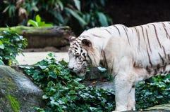 Белый тигр Бенгалии Стоковое Фото