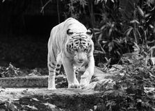 Белый тигр Бенгалии Стоковое фото RF