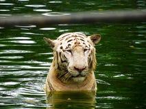 Белый тигр в воде стоковое изображение rf