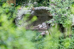 Белый тигр в пещере Стоковые Изображения RF
