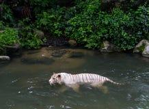 Белый тигр купая с рыбами Стоковые Изображения RF