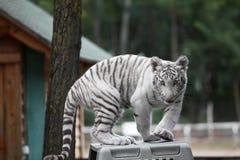 Белый тигр младенца Бенгалии стоковая фотография rf