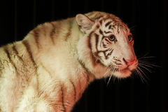 Белый тигр перед черной предпосылкой Стоковые Изображения