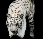Белый тигр, портрет тигра Бенгалии Стоковые Фотографии RF