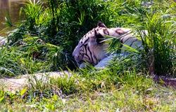 Белый тигр, тигр Бенгалии Стоковое Изображение RF