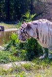 Белый тигр, тигр Бенгалии Стоковые Фотографии RF