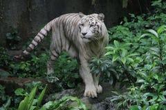 Белый тигр Стоковые Изображения