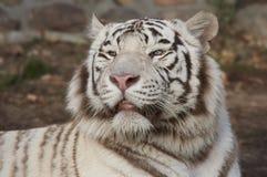 Белый тигр. Стоковое Изображение RF