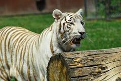 Белый тигр стоковые изображения rf