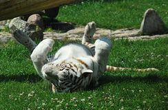 Белый тигр стоковое фото