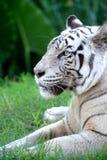 Белый тигр Стоковые Фотографии RF