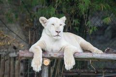Белый тигр Стоковое Изображение