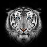 Белый тигр Стоковые Фото