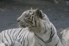 Белый тигр, Ibaraki, Япония Стоковая Фотография RF