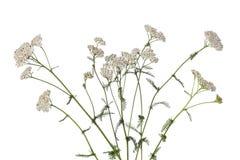 Белый тысячелистник обыкновенный стоковое фото rf