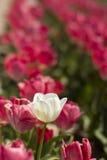 Белый тюльпан в розовых тюльпанах Стоковые Фотографии RF