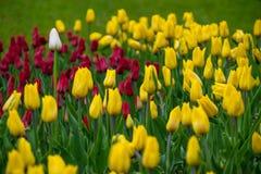 Белый тюльпан и красные цветы и белизны стоковое фото