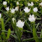 Белый тюльпан Сиама цвета Стоковая Фотография