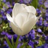 Белый тюльпан с фиолетовой предпосылкой flowerbed pansies Стоковое Фото