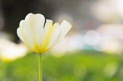 Белый тюльпан Стоковые Фото