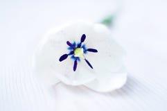 Белый тюльпан Стоковые Изображения
