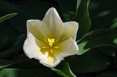 Белый тюльпан Стоковое Изображение