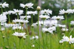 Белый луг стоцвета стоковое изображение rf