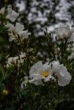 Белый утес Роза 4 Стоковые Изображения RF