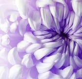 Белый фиолетовый цветок хризантемы closeup Макрос Стоковые Изображения