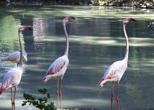 Белый фламинго в воде Большие красивые птицы Стоковая Фотография RF