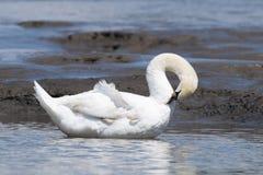 Белый холить лебедя Стоковые Изображения