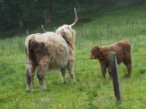 Белый царапать коровы гористой местности Стоковое Изображение RF