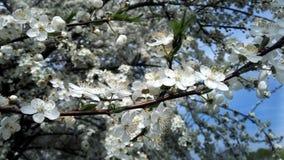 Белый цвести Стоковые Фотографии RF