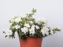 Белый цветок азалии Стоковое фото RF