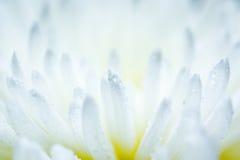 Белый цветок астры Стоковые Фотографии RF