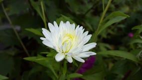 Белый цветок астры Стоковая Фотография