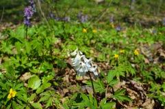 Белый цветок весны Стоковое фото RF