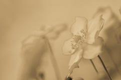Белый цветок ветреницы Стоковое фото RF